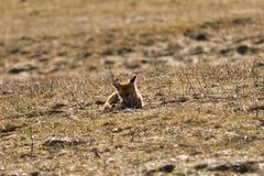 Дикая красная лиса идя на луг ища еда стоковое изображение