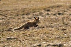 Дикая красная лиса идя на луг ища еда стоковая фотография rf