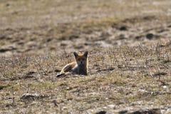 Дикая красная лиса идя на луг ища еда стоковые фотографии rf