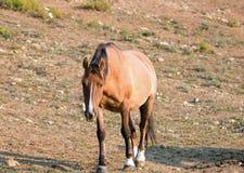 Дикая лошадь - беременная конематка залива лосиной кожи идя на восход солнца в ряде дикой лошади гор Pryor в Монтане США Стоковые Изображения RF