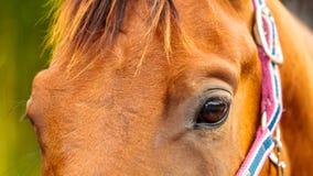 Дикая лошадь Брайна на поле луга идилличном Стоковое Изображение