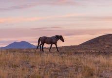 Дикая лошадь в красивом заходе солнца пустыни Стоковая Фотография