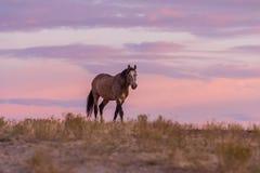 Дикая лошадь в красивом заходе солнца Стоковое фото RF