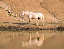 Дикая лошадь жеребца Palomino отражая в воде на водопое в ряде дикой лошади гор Pryor в Монтане США Стоковое Изображение RF