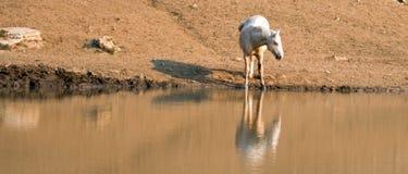 Дикая лошадь жеребца Palomino отражая в воде на водопое в ряде дикой лошади гор Pryor в Монтане США Стоковое Фото