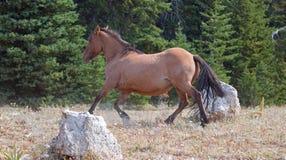 Дикая лошадь конематки лосиной кожи серовато-коричневого цвета бежать в ряде дикой лошади гор Pryor в Монтане США Стоковые Изображения