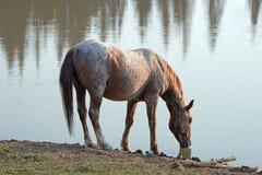 Дикая лошадь - красный Roan жеребец выпивая на waterhole в ряде дикой лошади гор Pryor в Монтане США Стоковые Изображения