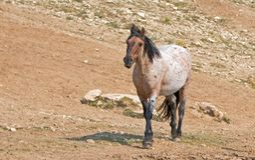 Дикая лошадь - красный Roan жеребец в ряде дикой лошади гор Pryor в Монтане США Стоковые Изображения