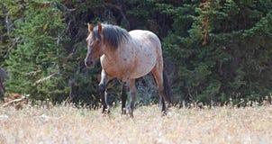 Дикая лошадь - красный Roan жеребец в ряде дикой лошади гор Pryor в Монтане u Стоковая Фотография