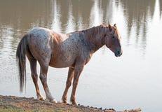 Дикая лошадь - красный Roan жеребец на waterhole в ряде дикой лошади гор Pryor в Монтане u Стоковые Изображения RF