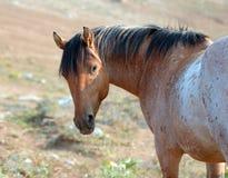 Дикая лошадь - красный Roan жеребец смотря назад в ряде дикой лошади гор Pryor в Монтане США Стоковое фото RF