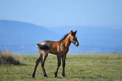 Дикая лошадь младенца Стоковое Изображение