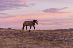 Дикая лошадь на заходе солнца в пустыне Стоковая Фотография