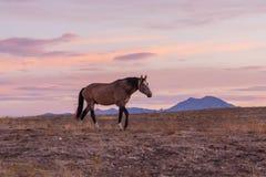 Дикая лошадь на заходе солнца в Юте Стоковое Изображение