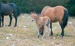 Дикая лошадь новичка осленка младенца с его матерью в ряде дикой лошади гор Pryor на границе Вайоминга и Монтаны США Стоковые Фотографии RF