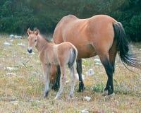 Дикая лошадь новичка осленка младенца с его матерью в ряде дикой лошади гор Pryor на границе Вайоминга и Монтаны США Стоковая Фотография RF