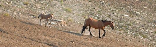 Дикая лошадь новичка осленка младенца с его матерью в ряде дикой лошади гор Pryor на границе Вайоминга и Монтаны США Стоковые Изображения RF