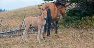 Дикая лошадь новичка осленка младенца с его матерью в ряде дикой лошади гор Pryor на границе Вайоминга и Монтаны США Стоковое фото RF