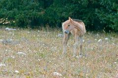 Дикая лошадь - серовато-коричневый цвет покрасил новичка осленка младенца на Sykes Ридже в ряде дикой лошади гор Pryor на границе стоковые изображения rf