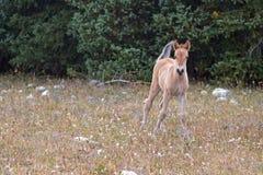 Дикая лошадь - серовато-коричневый цвет покрасил новичка осленка младенца на Sykes Ридже в ряде дикой лошади гор Pryor на границе стоковые изображения