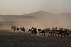 Дикая лошадь табунит ход в тростнике, kayseri, индюка стоковое изображение rf