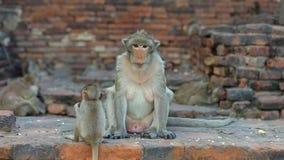 Дикая обезьяна в виске города Lopburi в Таиланде во время дня видеоматериал