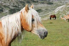 Дикая лошадь пася в лугах Dolomiti FANES горы Стоковое фото RF