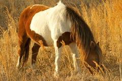Дикая лошадь пася в дюнах Assageague, Мэриленда Стоковое Изображение RF
