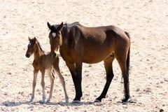 Дикая лошадь с котенком в пустыне Garub стоковое фото