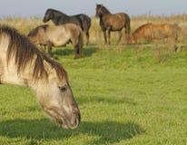 Дикая лошадь Konik Стоковое Фото
