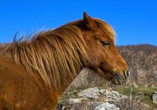 Дикая лошадь Pembrokeshire Стоковое Изображение