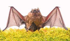 Дикая природа Передние конечности приспособленные как крылья Млекопитающие естественно способные на истинного и, который вытерпел стоковая фотография rf