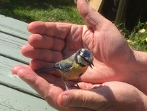 Дикая птица в приданных форму чашки руках стоковое изображение