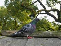 Дикая птица голубя на деревянной крыше с деревьями на предпосылке Стоковые Изображения