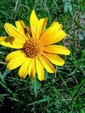 Дикая пчела солнцецвета стоковая фотография
