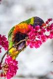 Дикая радуга Lorikeet питаясь на вишневых цветах Мельбурн, Виктория, Австралия, сентябрь 2016 стоковые изображения rf