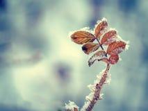 Дикая розовая ветвь с терниями и красные листья в изморози резюмируют серую предпосылку с неясными линиями морозное утро стоковое фото