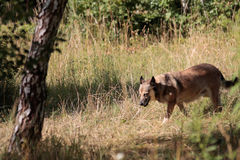 Дикая собака в поле Стоковые Фотографии RF