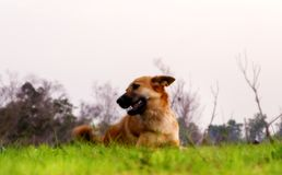 Дикая собака лежит в траве Стоковые Фотографии RF