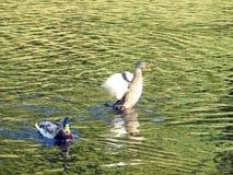 Дикая утка Брайна в озере, Литве Стоковые Фото
