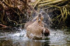 Дикая утка брызгая в воде около берега Стоковое Фото