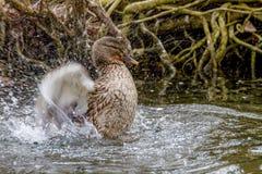 Дикая утка брызгая в воде около берега Стоковая Фотография