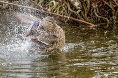 Дикая утка брызгая в воде около берега Стоковые Фото