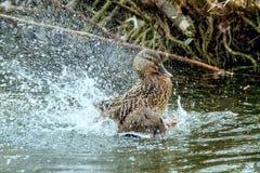 Дикая утка брызгая в воде около берега Стоковое Изображение RF