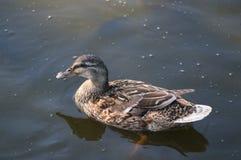 Дикая утка в воде Стоковые Изображения