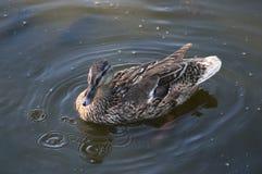 Дикая утка в воде Стоковая Фотография