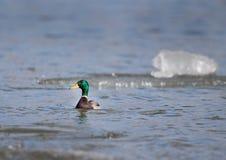 Дикая утка в воде Стоковое Изображение