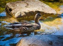 Дикая утка в природе Стоковое фото RF
