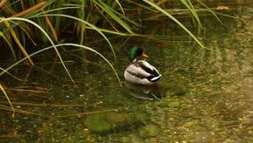 Дикая утка в пруде, пруде с дикими утками в парке города, утками в воде озера, селезня, конца-вверх видеоматериал