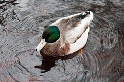 Дикая утка в пруде Стоковые Фотографии RF